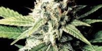 Green House Seeds - Great White Shark cannabis seeds