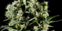 Green House Seeds - Himalaya Gold cannabis seeds