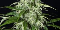 Green House Seeds - Kalshnikova Automatic cannabis seeds