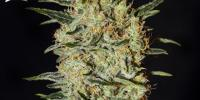 Green House Seeds - Nevilles Haze cannabis seeds