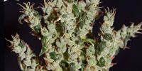 Green House Seeds - NL5 Haze Mist cannabis seeds