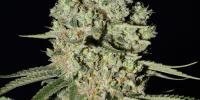 Green House Seeds - Super Critical cannabis seeds