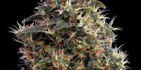 Green House Seeds - Sweet Mango cannabis seeds