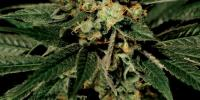 Green House Seeds - Train Wreck cannabis seeds