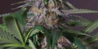 Hazeman Seeds - Blue Bubba cannabis seeds