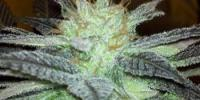 Hazeman Seeds - Fugu Kush cannabis seeds