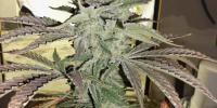Hazeman Seeds - Grape 13 cannabis seeds