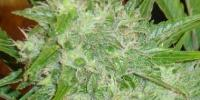 Hazeman Seeds - White Grape cannabis seeds