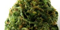 Heavyweight Seeds - Massive Midget Auto cannabis seeds