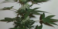 Homegrown Fantaseeds - CH.1 cannabis seeds
