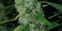 Hortilab - Super Sour Skunk cannabis seeds