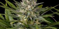 Humboldt Seeds - Pineapple Skunk cannabis seeds
