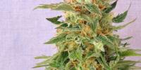 Kannabia Seeds - Hobbit Automatic cannabis seeds