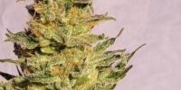Kannabia Seeds - Karamelo cannabis seeds