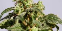 Kannabia Seeds - Power Skunk cannabis seeds
