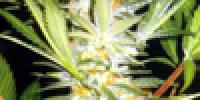 Kannabia Seeds - White Domina cannabis seeds