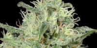 Kera Seeds - Critical cannabis seeds