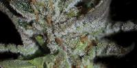 Kera Seeds - LA Widow cannabis seeds