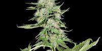 Kera Seeds - Northern Light cannabis seeds
