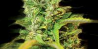 Kera Seeds - Venice Beach Afghan cannabis seeds