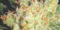 Lady Sativa - English OG cannabis seeds