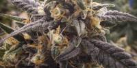 Loud Seeds - Skins Skunk cannabis seeds