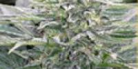 Mandala Seeds - Hashberry cannabis seeds