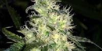 Medical Seeds - Bluehell cannabis seeds