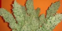Medical Seeds - Jack La Mota cannabis seeds