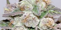 Medical Seeds - Mendocino Purple Kush cannabis seeds