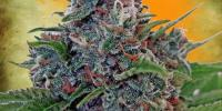 Ministry of Cannabis - Auto Blue Amnesia cannabis seeds