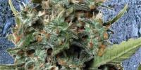Ministry of Cannabis - AutopilotXXL cannabis seeds