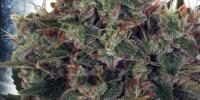 Ministry of Cannabis - Ultra White Amnesia cannabis seeds