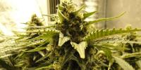 Nirvana Seeds - Snow White cannabis seeds
