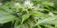 Nirvana Seeds - White Widow cannabis seeds