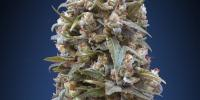 OO Seeds - OO Kush cannabis seeds