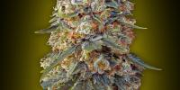 OO Seeds - Sweet Critical cannabis seeds