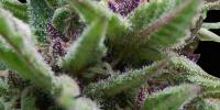 Original Sensible Seed Company - Auto Purple cannabis seeds