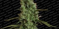 Paradise Seeds - Atomical Haze cannabis seeds