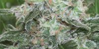 Positronics - Critical Express Auto cannabis seeds