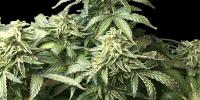 Rare Dankness - OX Piss cannabis seeds