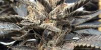 Rare Dankness - Star Killer cannabis seeds