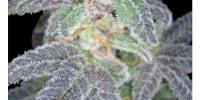 Reserva Privada - Purple OG 18 cannabis seeds