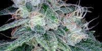 Reserva Privada - Sour Diesel cannabis seeds