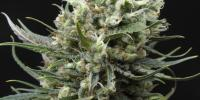 Ripper Seeds - Ripper Haze cannabis seeds