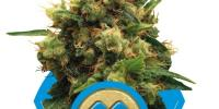Royal Queen Seeds - Painkiller XL cannabis seeds