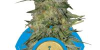 Royal Queen Seeds - Royal Highness cannabis seeds