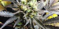 Royal Queen Seeds - Royal Medic cannabis seeds