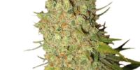 Royal Queen Seeds - Special Kush 1 cannabis seeds