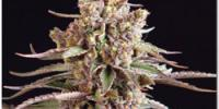 Sagarmatha Seeds - Blueberry Bud cannabis seeds